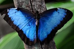 800px-Blue_Morpho